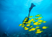 Дно моря водолаза акваланга молодой женщины исследуя Стоковые Изображения