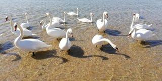 Красивые лебеди и слепимость солнца на морской воде Дно моря через волны на день лета солнечный ( стоковые изображения rf
