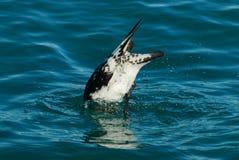 Дн вверх, буревестник подныривание утки в океане стоковая фотография