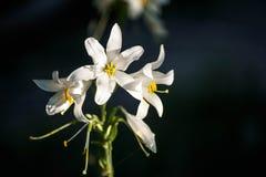 Дн-лилия в саде Стоковая Фотография
