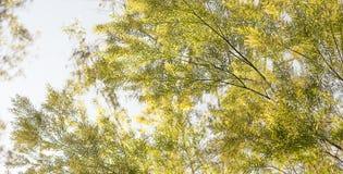 Доброе утро в Австралии с австралийской предпосылкой wattle Стоковое Изображение RF