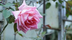 Доброе утро с цветком розы Стоковое Фото