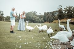 Добросердечная старшая женщина давая хлеб к лебедям стоковые изображения rf