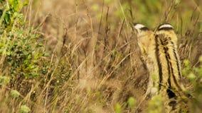 Добыча кота сервала пряча в траве, саванне, Африке стоковые изображения