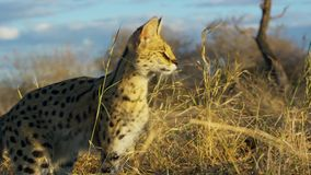 Добыча кота сервала пряча в траве, саванне, Африке стоковое фото rf