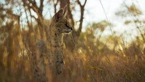 Добыча кота сервала пряча в траве, саванне, Африке стоковые изображения rf