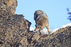Добыча пятен койота Стоковые Фотографии RF