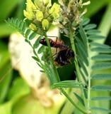 Добыча iracundus Rhinocoris пчела путать Стоковая Фотография
