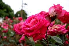 Довольно в розовых розах стоковое изображение rf