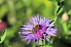 Довольно голубой цветок и пчела Стоковые Изображения