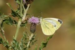 Довольно Зелен-veined белое napi Pieris бабочки nectaring на цветке thistle Стоковые Фото