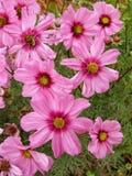 Довольно розовый космос в моем саде Стоковое фото RF