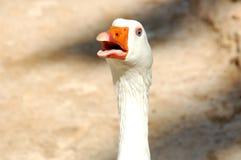 Довольно сердитая гусыня в зоопарке стоковое фото rf