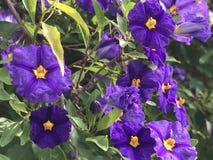 Довольно фиолетовые цветки Стоковые Изображения