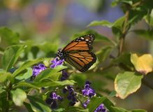Довольно яркая оранжевая бабочка монарха Polinating цветок Стоковое Изображение