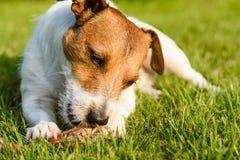 Довольная и счастливая собака есть мясо на косточке лежа на зеленой траве Стоковое фото RF