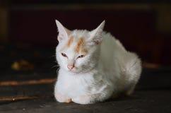 Довольно азиатский кот стоковое фото rf