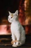 Довольно азиатский кот стоковая фотография rf