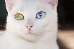 Довольно белый кот с различными покрашенными глазами стоковое фото rf