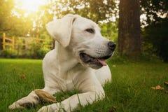 Довольно белый щенок labrador сидя на заходе солнца в саде Стоковые Фото