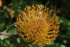 Довольно зацветая желтый конец цветка Protea вверх Стоковое Фото