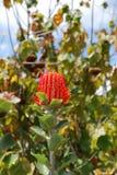 Довольно зацветая красная голова цветка Protea в тропическом саде Стоковое фото RF