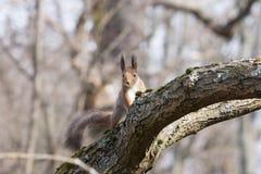 Довольно красное squirell сидит на ветви и смотрит streight Стоковая Фотография