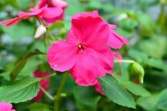 Довольно нетерпеливый зацветать цветка Стоковые Фотографии RF