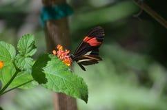 Довольно общие цветки Polinating бабочки почтальона Стоковые Изображения