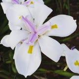 Довольно одичалая лилия Стоковая Фотография RF