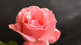 Довольно роза пинка blossoming вне видеоматериал