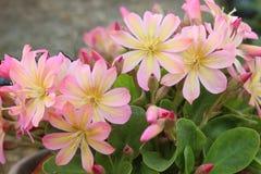 Довольно розовые цветки (Lewisia Twedei Роза) Стоковое Изображение