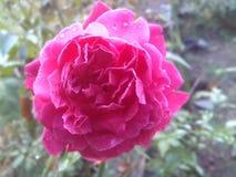 Довольно розовый цветок Стоковые Изображения