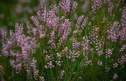 Довольно розовый цветя вереск в лете Стоковое Изображение RF
