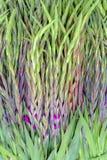 Довольно фиолетовая весна цветет приходить в цветене Стоковое Изображение RF