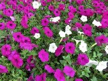 Довольно фиолетовые и белые петуньи Стоковая Фотография