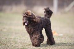 Довольный ход собаки Чистоплеменный коричневый пудель Стоковое Изображение RF