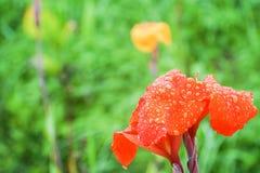 Дождевая вода падает на оранжевое Canna Lilly в парке Стоковое Изображение RF