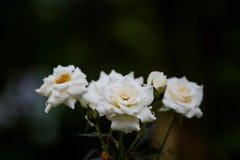 Дождевые капли вниз на предпосылке черноты белой розы Стоковая Фотография RF