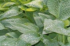 Дождевые капли на зеленых листьях хосты стоковое фото rf