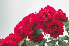 Дождевые капли на красной розе Падения росы на лепестках свежих цветков в саде стоковые фотографии rf