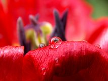 Дождевые капли на лепестках тюльпаны Стоковые Фото
