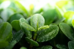 Дождевые капли на молодых зеленых лист стоковое фото rf