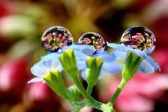 Дождевые капли на незабудке весны Стоковые Изображения