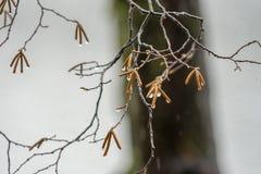 Дождливый день и дождевые капли на ветви дерева Стоковое фото RF