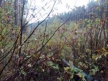 Дождь осени в золе горы Буше леса стоковое изображение