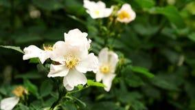 Дождь падая на белые одичалые розовые цветки - близкое поднимающее вверх сток-видео