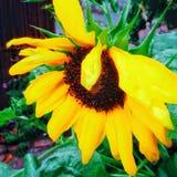 Красивый солнцецвет стоковые изображения