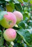 дождь яблок стоковые изображения