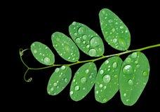 дождь 2 листьев Стоковое Фото